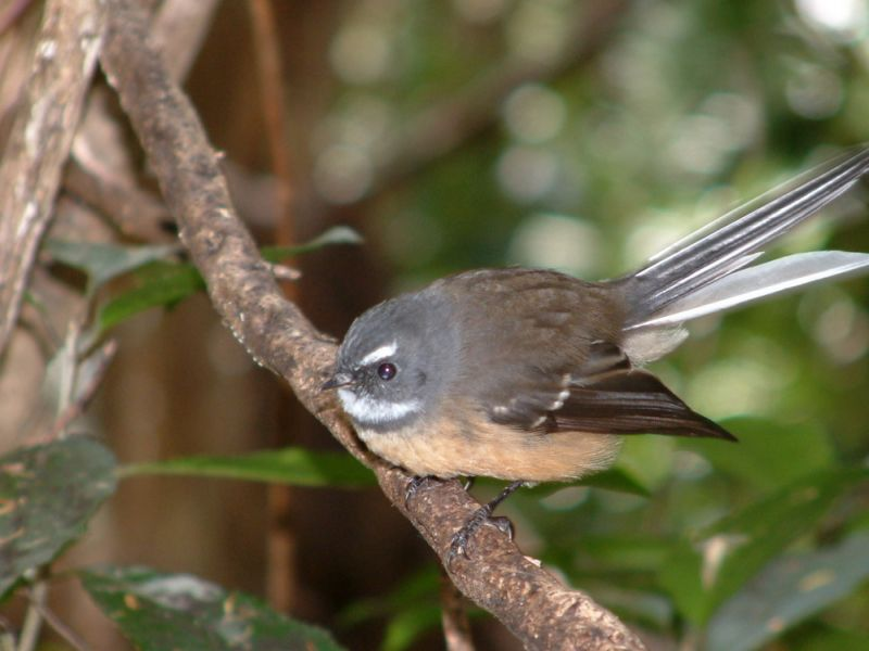 Fantail, friendly New Zealand bird