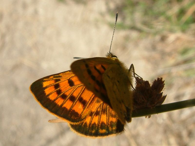 Little copper butterfly in the Abel Tasman National Park